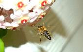 Honey bee flying — Stock Photo