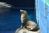 Sea lion seal in Australian zoo — Stock Photo