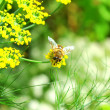 Stock Photo: Bee in garden setting