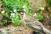 Oiseau australien indigène de l'acacia — Photo