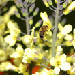Honey bee collecting pollen from yellow flowers — Stock Photo