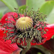 Stock Photo: Poppy seed pod flower
