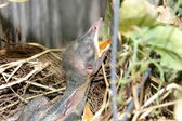 Close up of a hungry baby bird in nest — Stock Photo