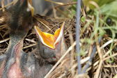 Close up of hungry baby birds in nest — Stock Photo