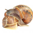 Garden snails together — Stock Photo