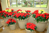 Poinsettias in large concrete pots — Stock Photo
