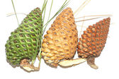 Green and brown pinecones — Stock Photo