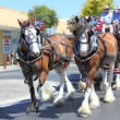 Clydesdale horses in harness on street parade — Stock Photo