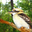 Australian Kookaburra — Stock Photo