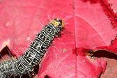 Macro of colourful caterpillar — Stock Photo