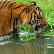 Drinking tiger — Stock Photo