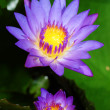 Twin waterlily — Stock Photo