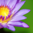 Water Lily — Stock Photo #31173613