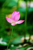 Pień fotografia, różowe lilie wodne — Zdjęcie stockowe