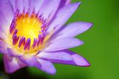 Water Lily — Foto de Stock