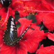 Unidentified Tropical Black Colored Butterfly — Stock Video