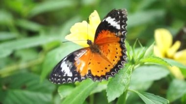 Unidentified tropical orange colored butterfly — Vídeo de stock
