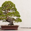 Bonsai tree — Stockfoto