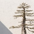 Bonsai Baum — Stockfoto #23958363