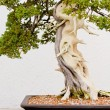 Bonsai Baum — Stockfoto