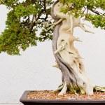 bonsaiträd — Stockfoto