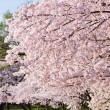 Cherry Blossoms In Peak Bloom — Stock Photo