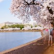 cherry blossoms in full bloom around the tidal basin in washington dc — Stock Photo