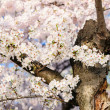 Cherry Blossoms In Peak Bloom - Stock Photo