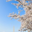 Blooming Cherry Blossoms With The Washington Monument  — Stock Photo