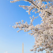 Blooming Cherry Blossoms With The Washington Monument - Stock Photo
