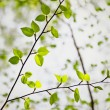 Japanese Cherry Birch - Stockfoto