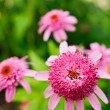 Pink Double Delight Coneflower - Stock Photo