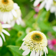Coconut Lime Coneflower - Stock Photo