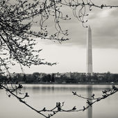 The Washington Memorial Framed By Cherry Blossom Buds — Stock Photo