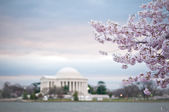 Chery Blossoms With The Jefferson Memorial — Stock Photo