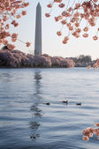 Family Of Ducks Swimming In The Tidal Basin, Framed By Cherry Blossoms — Stock Photo