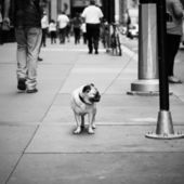 Small Pug Tied Up In NYC — Stock Photo