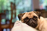 Sad Pug Relaxing On Cough — Stok fotoğraf
