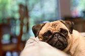 Triest pug ontspannen op hoest — Stockfoto