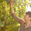 Woman Picking An Apple From A Tree — Stock Photo