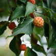 Kousa Dogwood Fruit - Stock Photo