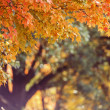 Fall Maple Tree Background — Stock Photo #24998347