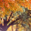 Stock Photo: Fall Maple Tree Background