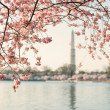 Stock Photo: Cherry Blossom Tree Framing The Washington Monument