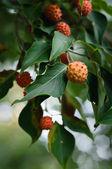 Fruit du cornouiller kousa — Photo
