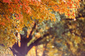 Fall Maple Tree Background — Stock Photo