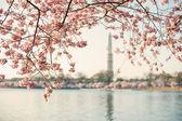 Cherry Blossom Tree Framing The Washington Monument — Stock Photo