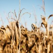 Dry and Dying Cornfield — Stock Photo