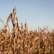 Dry and Dying Cornfield — Stock Photo #27161791