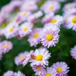 Pink Daisies — Photo